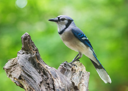urban wildlife: Blue Jay Cyanocitta cristata perching on a log in Maryland during the Spring