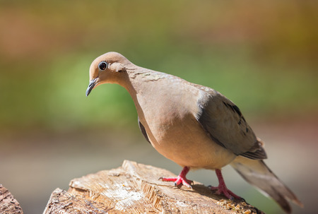 turtle dove: Mourning Dove Zenaida macroura perching on a log during the Spring