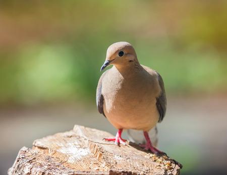 urban wildlife: Mourning Dove Zenaida macroura perching on a log during the Spring
