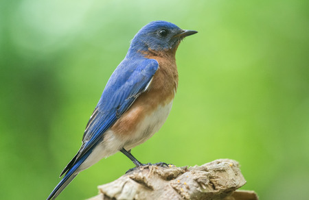 bluebird: Eastern Bluebird Sialia sialis perching on a branch in Maryland during the Spring Stock Photo