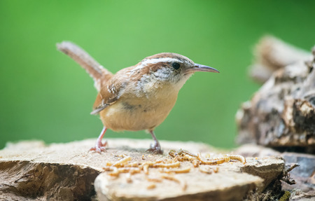 thryothorus: Carolina Wren Thryothorus ludovicianus perching on a log and eating worms during the Spring