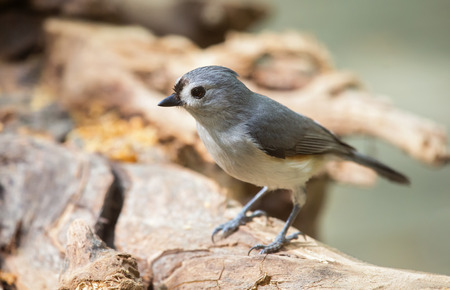 Tufted Titmouse Baeolophus bicolor perching on a log during the Spring 免版税图像
