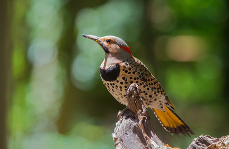 Northern Flicker woodpecker Colaptes auratus perching on a tree in Maryland during the Spring