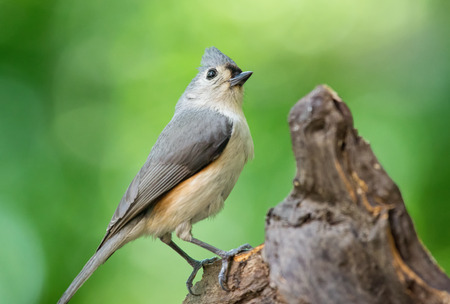 bicolor: Tufted Titmouse Baeolophus bicolor perching on a log during the Spring Stock Photo