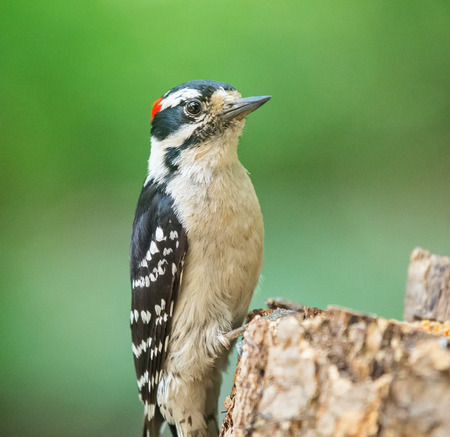downy woodpecker: Downy Woodpecker Picoides pubescens perching on a tree during the Spring Stock Photo