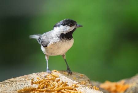 Carolina Chickadee Poecile carolinensis perching on a tree stump during the Spring