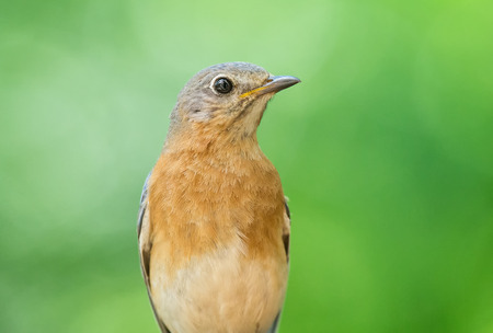 bluebird: Eastern Bluebird Sialia sialis portrait taken in Maryland during the Spring Stock Photo