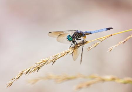 wild grass: Azul Dasher lib�lula Pachydiplax longipennis descansando sobre un tallo de hierba silvestre durante el verano Foto de archivo