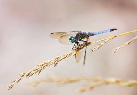 odonatology: Blue Dasher dragonfly Pachydiplax longipennis resting on a wild grass stem during the Summer Stock Photo