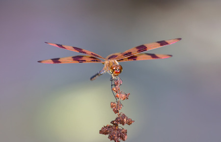 libellulidae: Halloween Pennant dragonfly Celithemis eponina perching on a wildflower in Maryland during the Summer Stock Photo