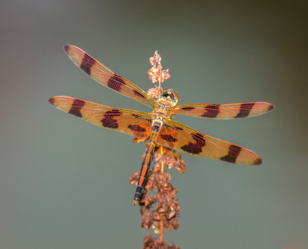 pruinose: Halloween Pennant dragonfly Celithemis eponina perching on a wildflower in Maryland during the Summer Stock Photo