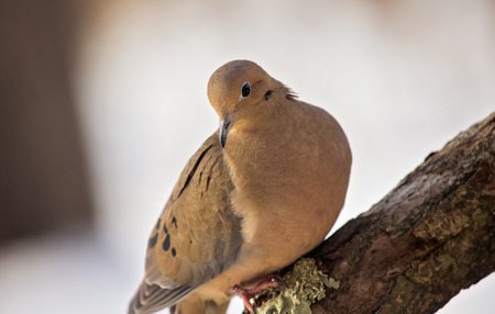 winter urban wildlife: Mourning Dove Zenaida macroura perching on a log during the Winter