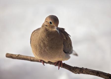 winter urban wildlife: Mourning Dove Zenaida macroura perching on a twig during the Winter