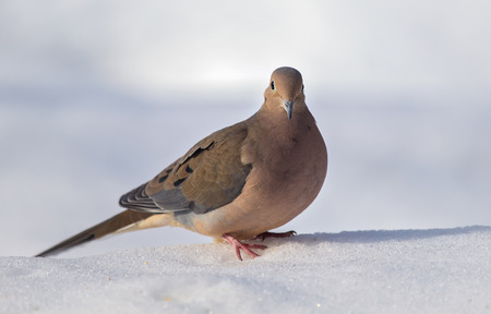 Mourning Dove Zenaida macroura standing in the snow in Maryland during the Winter