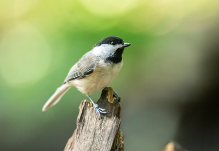 Carolina Chickadee Poecile carolinensis perching on a twig during the Spring