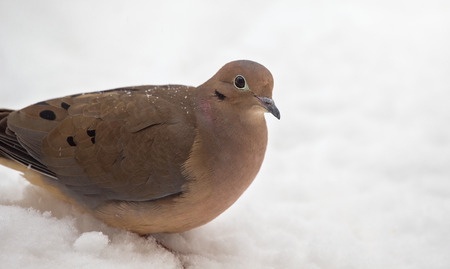 winter urban wildlife: Mourning Dove Zenaida macroura resting in the snow in Maryland during the Winter