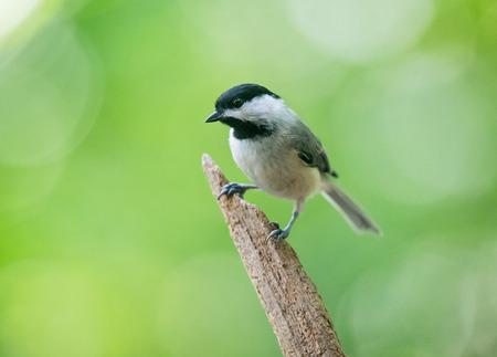 urban wildlife: Carolina Chickadee Poecile carolinensis perching on a twig during the Spring