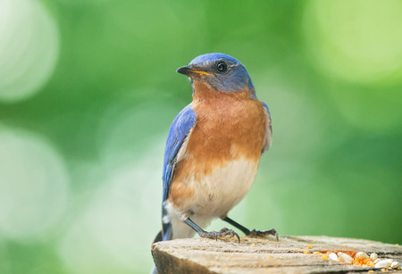 bluebird: Eastern Bluebird Sialia sialis perching on a tree stump in Maryland during the Spring Stock Photo