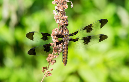 odonatology: Common Whitetail Plathemis lydia dragonfly perching on a wildflower stem in Maryland during the Summer Stock Photo