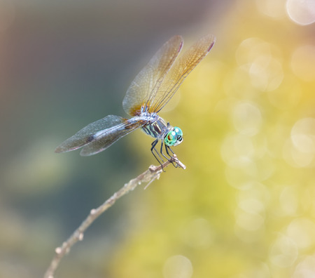 odonatology: Blue Dasher dragonfly Pachydiplax longipennis resting on a twig during the Summer