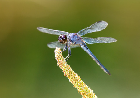Slaty Skimmer dragonfly Libellula incesta perching on a wildflower in Maryland during the Summer Stock Photo