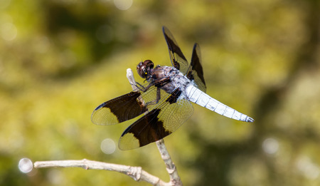 pruinescence: Common Whitetail dragonfly Plathemis lydia perching on a twig in Maryland during the Summer