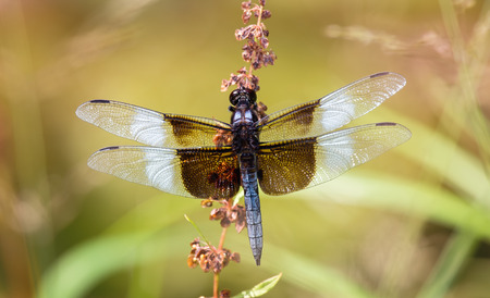 pruinose: Widow Skimmer dragonfly Libellula luctuosa resting on a wildflower in Maryland during the Summer Stock Photo