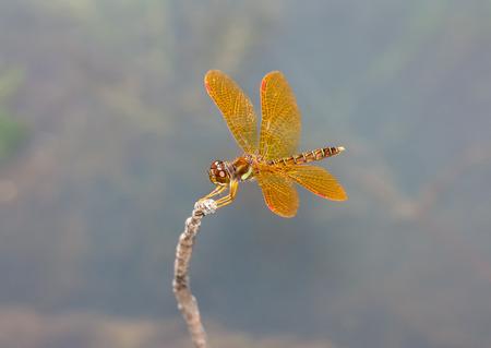 odonatology: Eastern Amberwing dragonfly Perithemis tenera perching on a twig in Maryland during the Summer