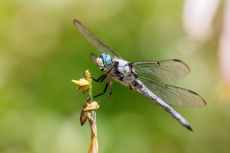 odonatology: Great Blue Skimmer dragonfly Libellula vibrans perching on a flower stem during the Summer