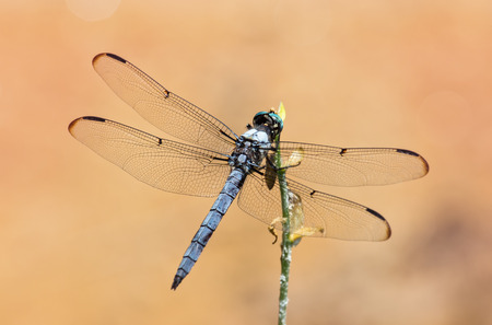 pruinose: Great Blue Skimmer dragonfly Libellula vibrans perching on a flower stem during the Summer