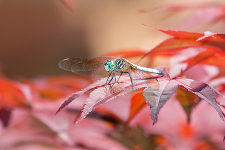 pruinescence: Blue Dasher dragonfly Pachydiplax longipennis resting on a Japanese Maple leaf during the Summer Stock Photo