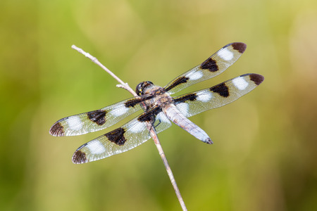 Twelve-spotted Skimmer dragonfly Libellula pulchella resting on a twig during the Summer Stock Photo