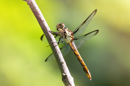 odonatology: Great Blue Skimmer dragonfly Libellula vibrans perching on a twig in Maryland during the Summer Stock Photo