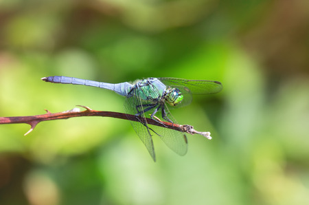odonatology: Eastern Pondhawk dragonfly Erythemis simplicicollis resting on a twig in Maryland during the Summer