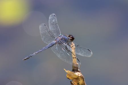 Slaty Skimmer dragonfly Libellula incesta perching on a twig in Maryland during the Summer