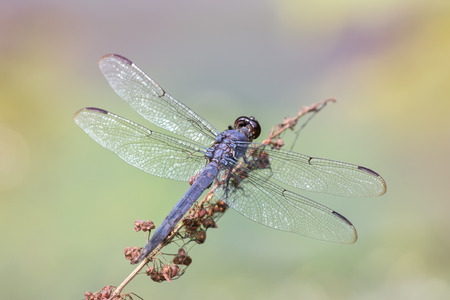 Slaty Skimmer dragonfly Libellula incesta perching on a wildflower stem in Maryland during the Summer Stock Photo