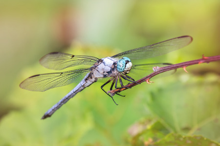 translucense: Great Blue Skimmer dragonfly Libellula vibrans perching on a twig during the Summer