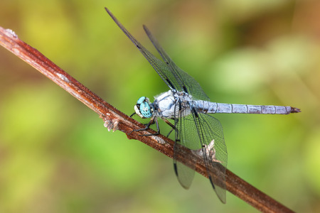 odonatology: Great Blue Skimmer dragonfly Libellula vibrans perching on a twig during the Summer