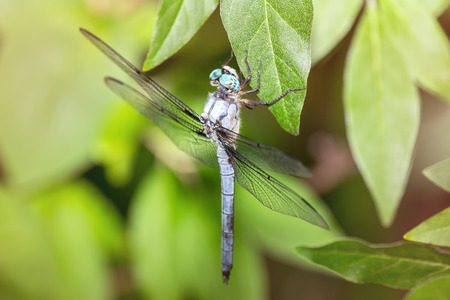odonatology: Great Blue Skimmer dragonfly Libellula vibrans hanging from a leaf during the Summer