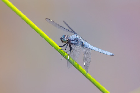 pruinescence: Spangled Skimmer Libellula cyanea dragonfly perching on a reed in Maryland during the Summer Stock Photo