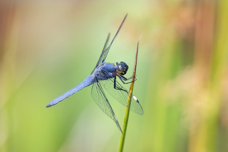 odonatology: Spangled Skimmer Libellula cyanea dragonfly perching on a reed in Maryland during the Summer Stock Photo