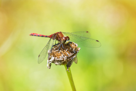 odonatology: White-faced Meadowhawk dragonfly Sympetrum obtrusum perching on a flower in Maryland during the Summer