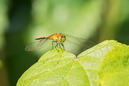 pruinescence: White-faced Meadowhawk dragonfly Sympetrum obtrusum perching on a leaf in Maryland during the Summer