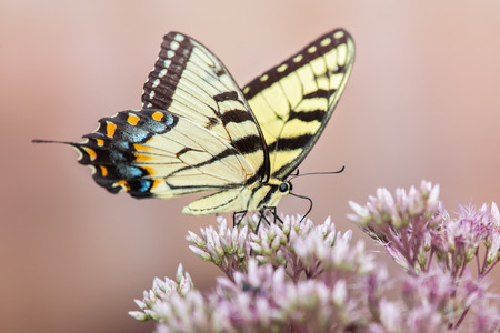 wildflowers: Eastern Tiger Swallowtail butterfly Papilio glaucus feeding on a wildflowers in Maryland during the Summer