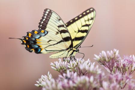 fleurs des champs: Machaon oriental de tigre papillon papillon glauque alimentation sur une des fleurs sauvages dans le Maryland pendant l'été Banque d'images