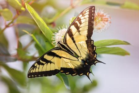 fiori di campo: Eastern Tiger Papilionidae Papilio Glauco nutrendosi di fiori Buttonbush nel Maryland durante l'estate Archivio Fotografico