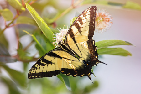 fleurs des champs: Eastern Tiger Swallowtail papillon Papilio glaucus se nourrissant de fleurs sauvages Buttonbush dans le Maryland pendant l'�t�