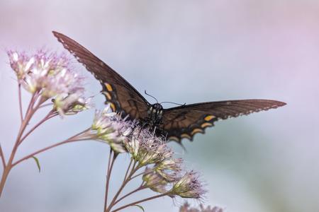 fiori di campo: Eastern Tiger Papilionidae Papilio Glauco si nutrono di un fiori in Maryland durante l'estate