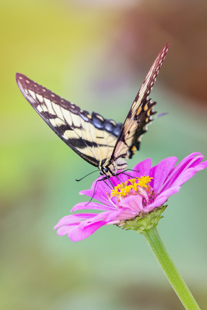 papilionidae: Eastern Tiger Swallowtail butterfly Papilio glaucus feeding on a pink flower in Maryland during the Summer Stock Photo