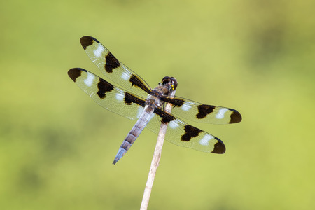 odonatology: Twelve-spotted Skimmer dragonfly Libellula pulchella resting on a twig during the Summer Stock Photo